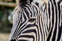 Zebra head close-up. stock photography