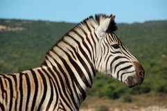 Zebra head close-up in kruger nationalpark. South africa Royalty Free Stock Photography