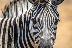 Zebra head close up in Kuti Wildlife Reserve in Malawi, Africa Royalty Free Stock Images