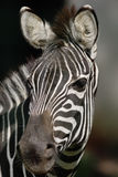 Zebra. Royalty Free Stock Photos