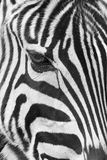 Zebra head Stock Photo