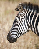 Zebra head close up sideview Stock Photos