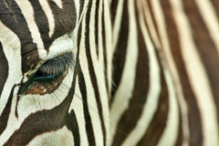 Zebra head Stock Photography