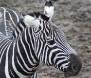 Zebra head. Grant zebra standing close by. Foto taken in Wildlands zoo in Emmen Stock Image