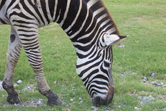 Zebra head in green grass field Royalty Free Stock Image