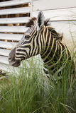 Zebra head in interior Stock Images