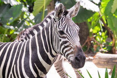 Zebra. Head and neck of a zebra Royalty Free Stock Images