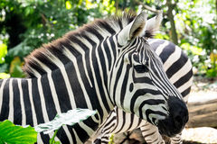 Zebra. Head and neck of a zebra Royalty Free Stock Photography