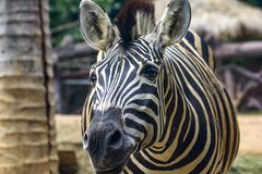 Zebra Head Patterns of white color alternating black. Walking in the zoo royalty free stock photos