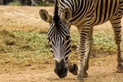 Zebra Head Patterns of white color alternating black. Walking in the zoo royalty free stock image