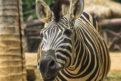 Zebra Head Patterns of white color alternating black. Walking in the zoo stock photography
