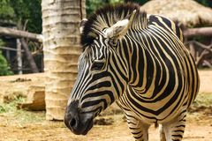 Zebra Head Patterns of white color alternating black. Walking in the zoo royalty free stock images