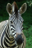 Zebra head portrait Stock Images