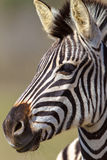 Zebra Head Portrait Alert. Young Zebra portrait of head only with its ears up and alert for predators nearby.Vertical frame format of the Zebras head captured Stock Images