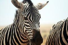 Zebra head Royalty Free Stock Photography