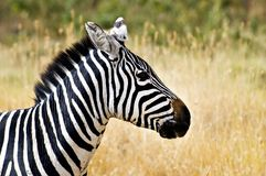 Zebra Head Profile Royalty Free Stock Images