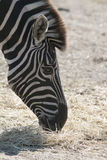 Zebra head profile side view Stock Photo