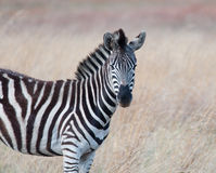 Zebra head and shoulders Royalty Free Stock Photos