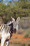 Zebra head and shoulders Stock Images