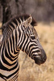 Zebra Head Side Profile Picture Stock Image