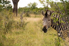 Zebra head sticking out behind bush. Looking at camera, head and shoulders shot stock photo