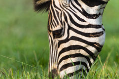 Zebra Head Summer Detail Stock Image