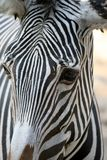 Zebra head up close. Detailed image of a black and white zebra pattern royalty free stock photography