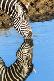 Zebra Head Water Mirror Reflections Wildlife Stock Photography
