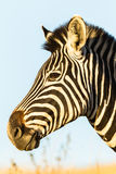 Zebra Head Wildlife Animal Stock Images