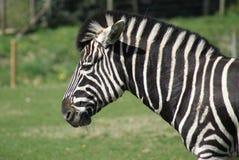 Zebra Head. Zebra in a field Royalty Free Stock Images