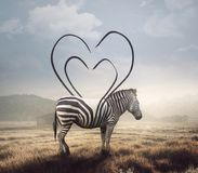 Zebra and heart stripes. A surreal image of a zebra and its stripes making a heart shape Royalty Free Stock Photography