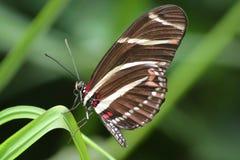 Zebra Heliconian Imagem de Stock Royalty Free