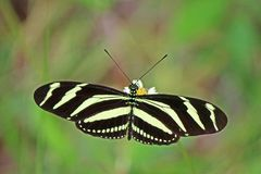 Zebra Heliconian Butterfly On Flower In Cuba Royalty Free Stock Photos