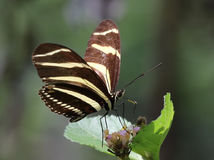 Zebra Heliconian Butterfly Stock Photo