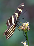 Zebra Heliconian Butterfly - Heliconius charithonia Royalty Free Stock Photo