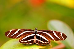 Zebra Heliconian butterfly on leaf (upper side) Stock Photography