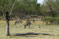 Zebra-Hengst Lizenzfreie Stockfotos