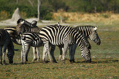 Zebra-Hengst mit seiner Herde Stockfotos
