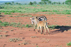 Zebra and her cub. In West Tsavo Park in Kenya Royalty Free Stock Images