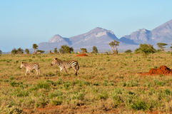 Zebra and her cub in West Tsavo Royalty Free Stock Photos