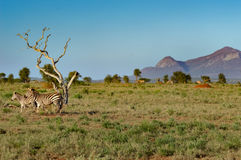 Zebra and her cub Royalty Free Stock Photography