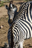 Zebra & her foal. A young zebra foal standing next to its mother Stock Images