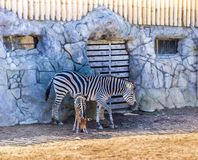 Zebra and her newborn baby stock photos