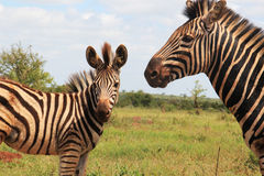 Zebra and her son Royalty Free Stock Image