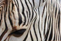 Zebra and her stripes Royalty Free Stock Images