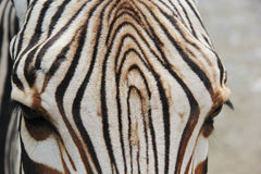 Zebra and her stripes Royalty Free Stock Photography