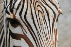 Zebra and her stripes Stock Photo