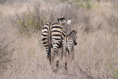 Zebra and her young Royalty Free Stock Photos