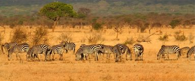 Zebra Herd Royalty Free Stock Photos