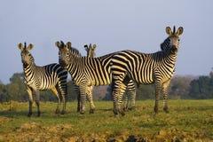Zebra Herd Royalty Free Stock Images